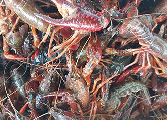 培训小龙虾养殖
