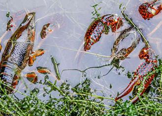 盱眙龙虾养殖